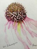 Postkarte_Echinacea