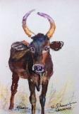 Postkarte_Indisches_Rind