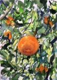 Postkarte_Orangenbaum